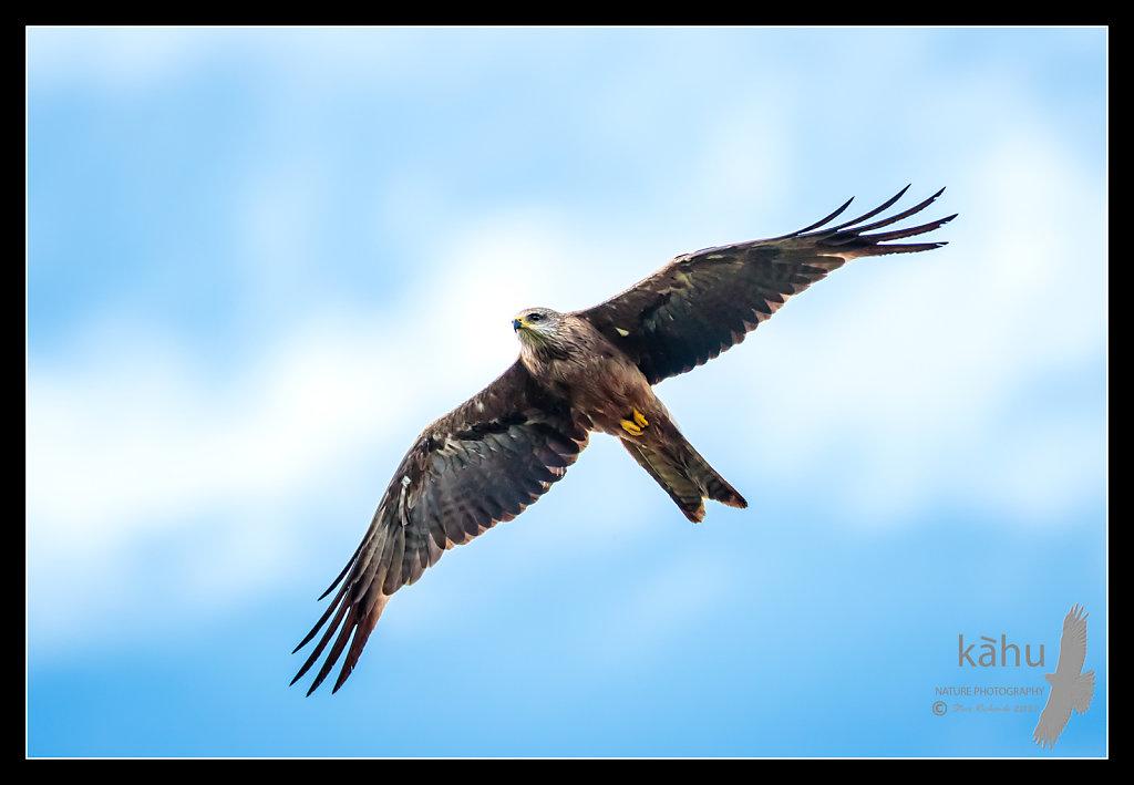 Australian Black Kite flies by