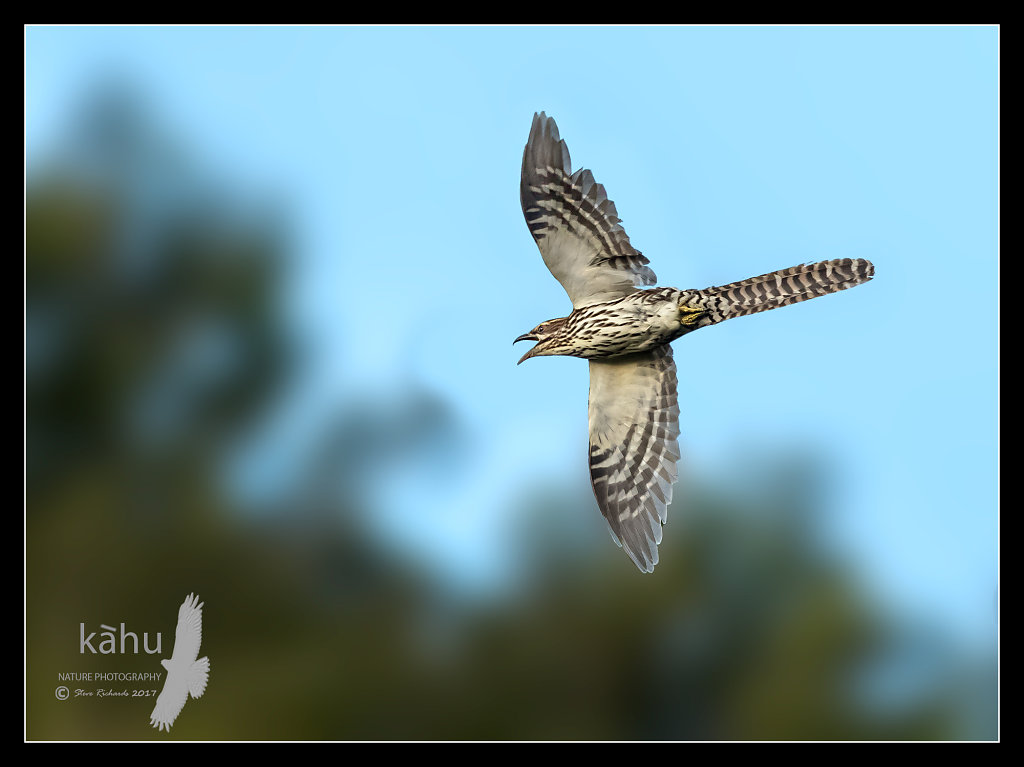Long Tailed Cuckoo in flight