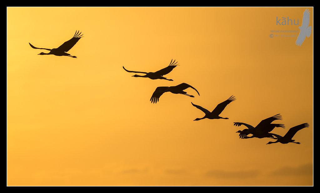 Common-Crane-flying-at-dawn.jpg