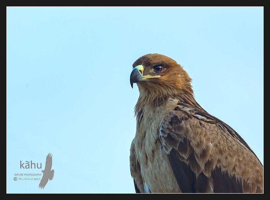 Black-kite2.jpg