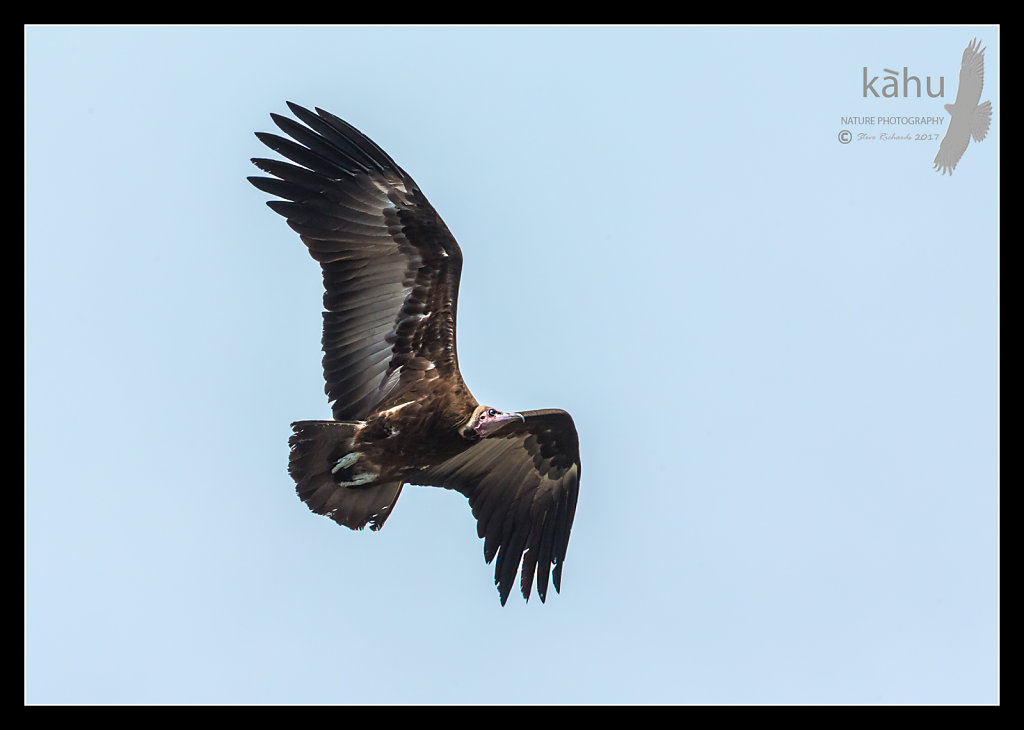 Egyptian-Vulture2.jpg
