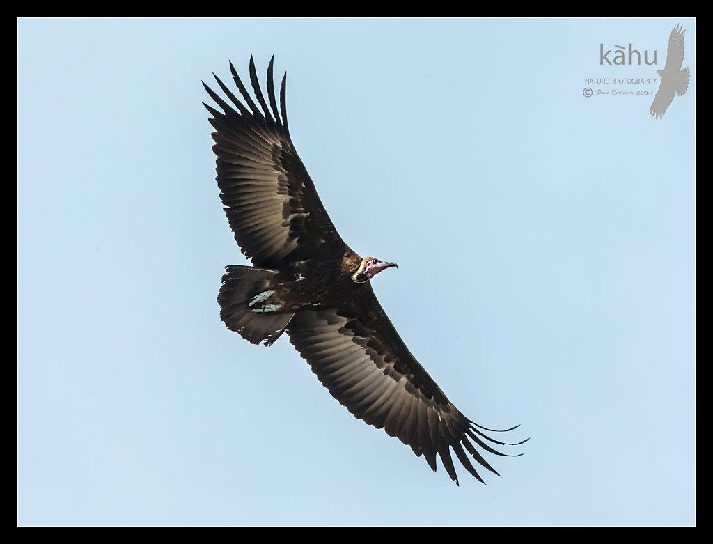 Egyptian-Vulture.jpg