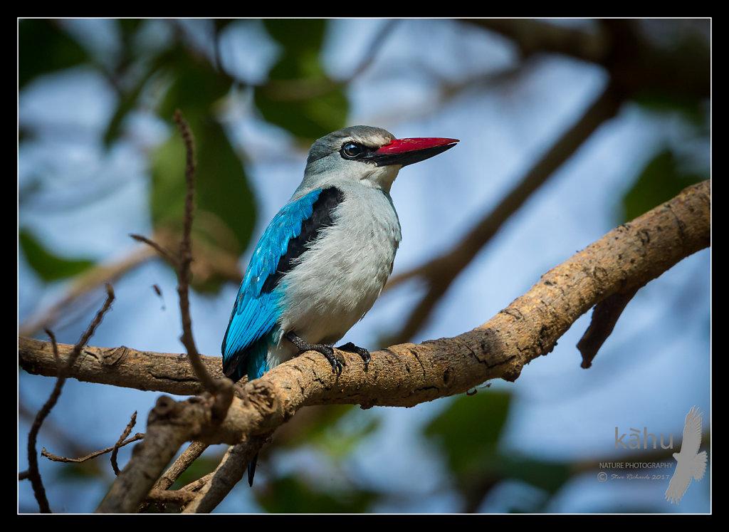 Woodland-Kingfisher3.jpg