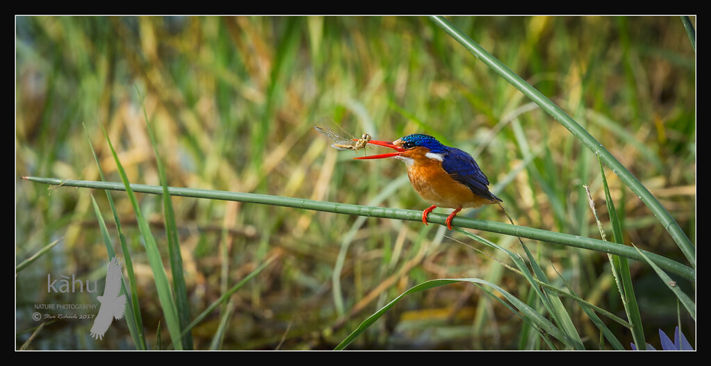 Malachite-Kingfisher2.jpg