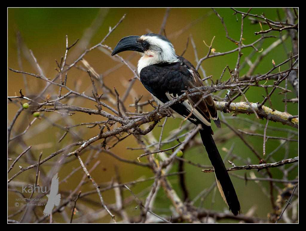 Hornbill2.jpg