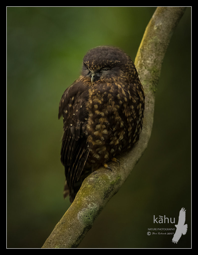 Sleepy Morepork roosting in the bush