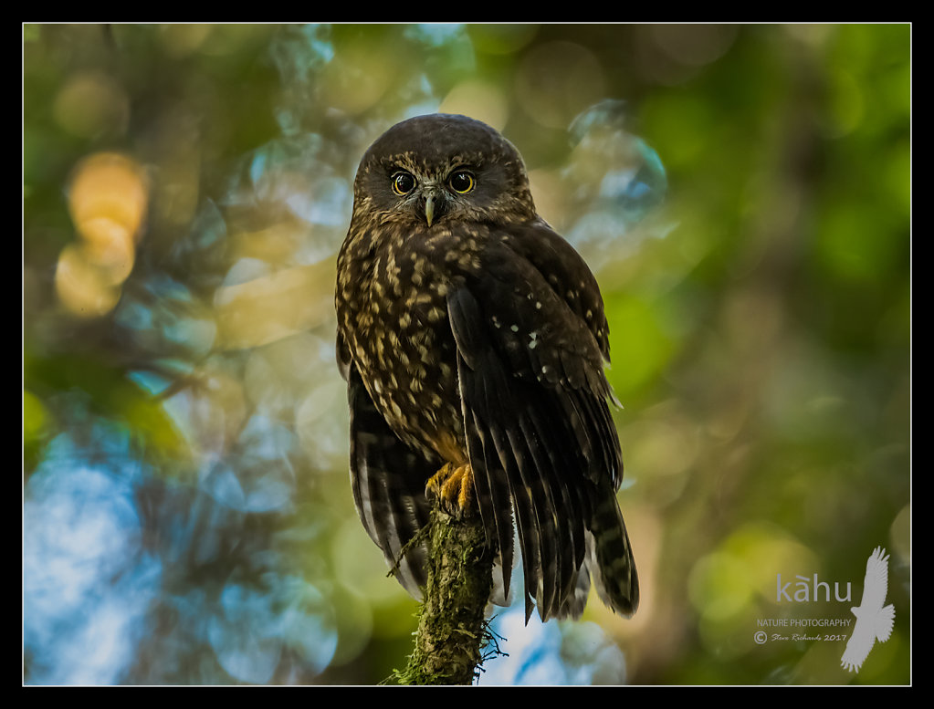Morepork puffing itself up in the forest