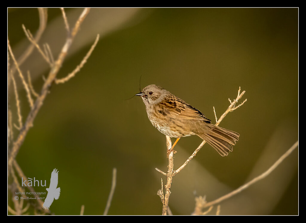 Dunnock with a spider in the evening sun