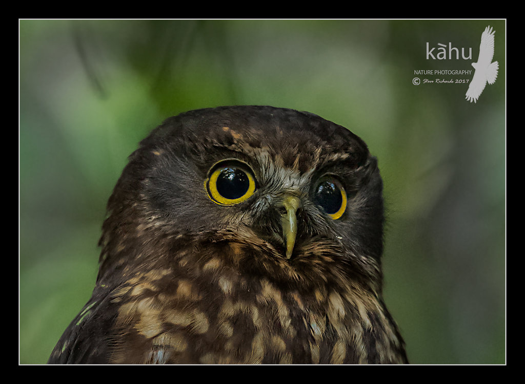 Morepork close up