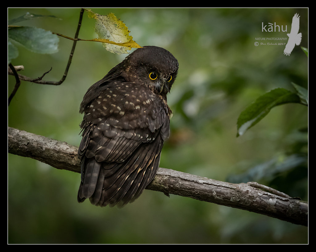Morepork scanning for prey beneath his perch