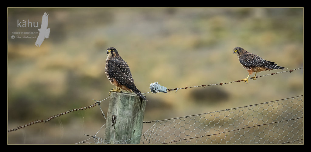 A pair of New Zealand Falcon, the larger female on the right, Otago