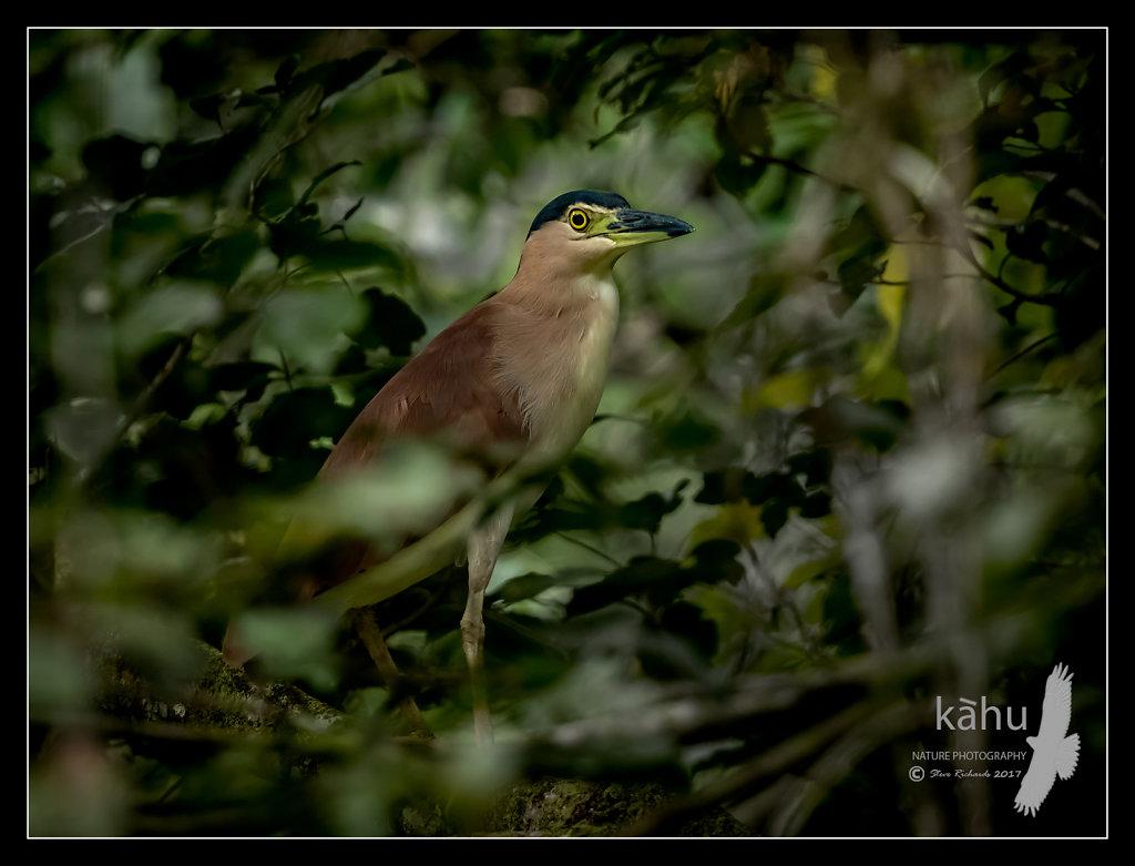 Nankeen-Night-Heron.jpg