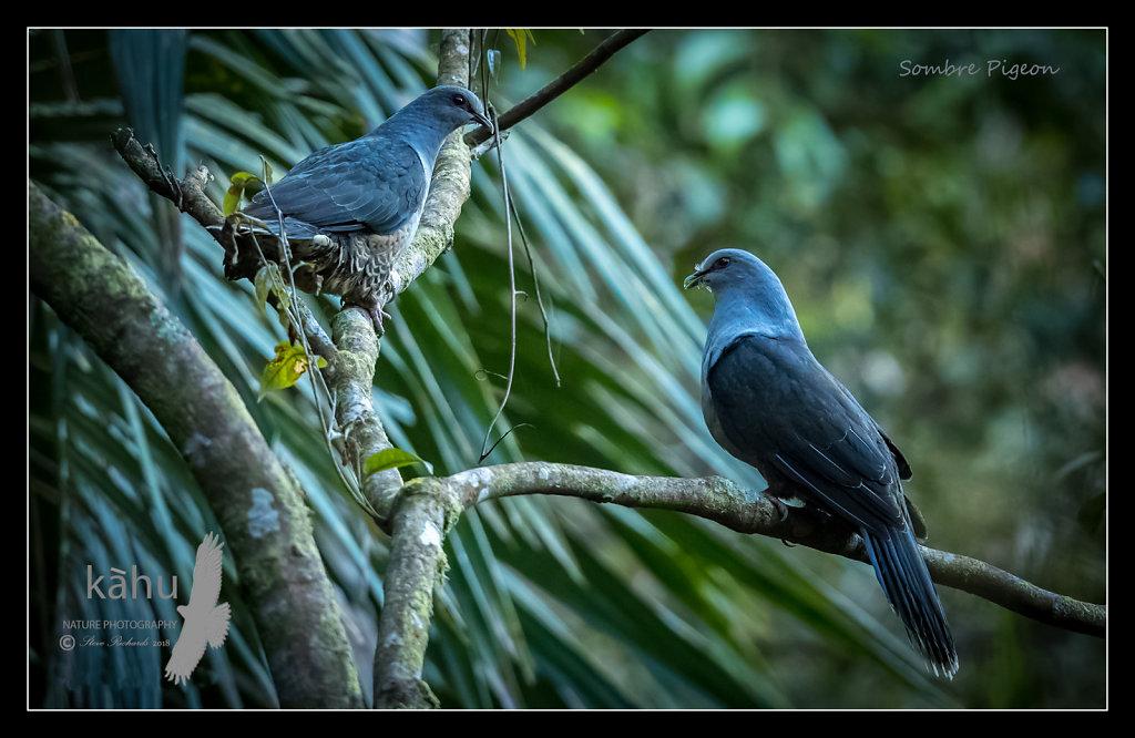 Sombre-Pigeon.jpg