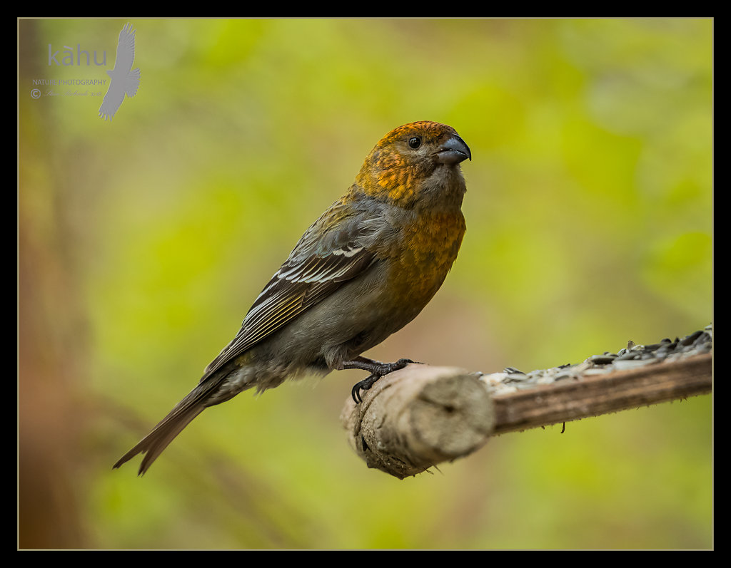 Female-Grosbeak.jpg
