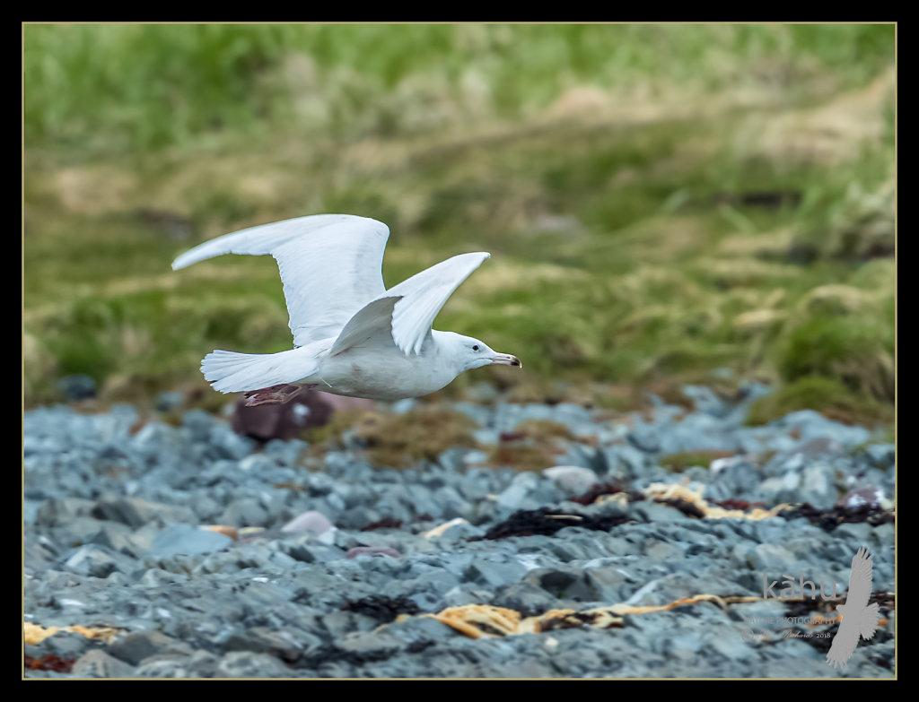 Glaucous-Gull.jpg