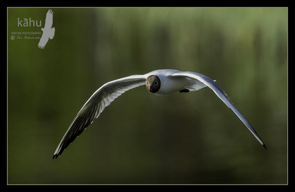 Gull-Black-headed.jpg