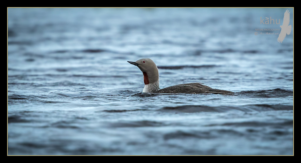 Red-Thoated-diver3.jpg