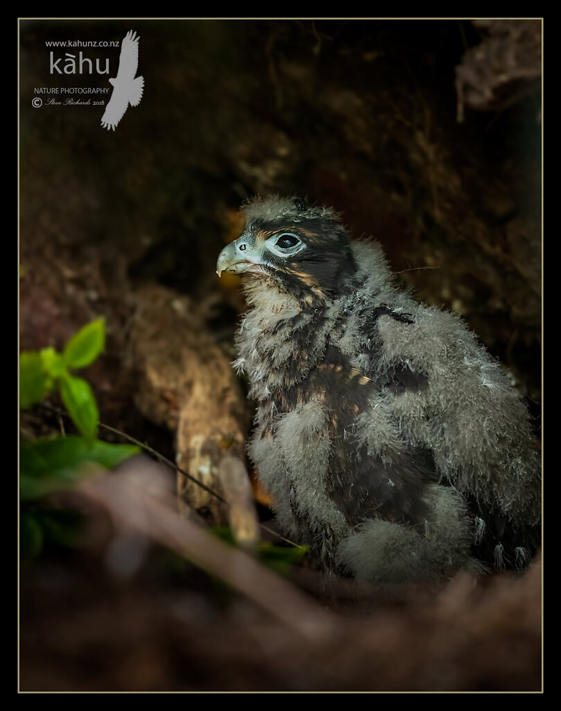 NZ Falcon chick on its nest