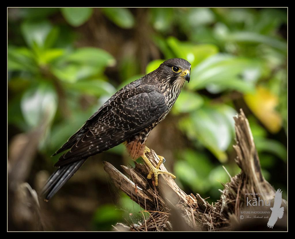 Male NZ falcon sitting on a stump