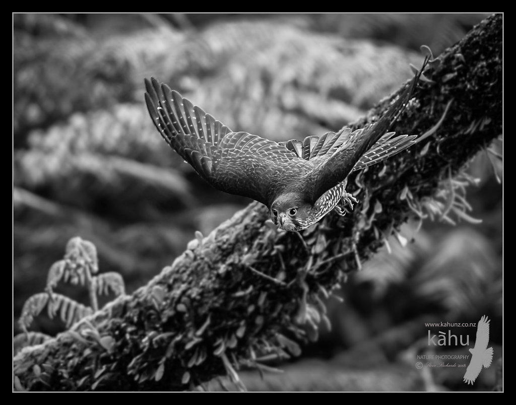 NZ Falcon flies from a punga perch